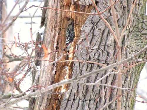 A Woodpecker & the Snowstorm