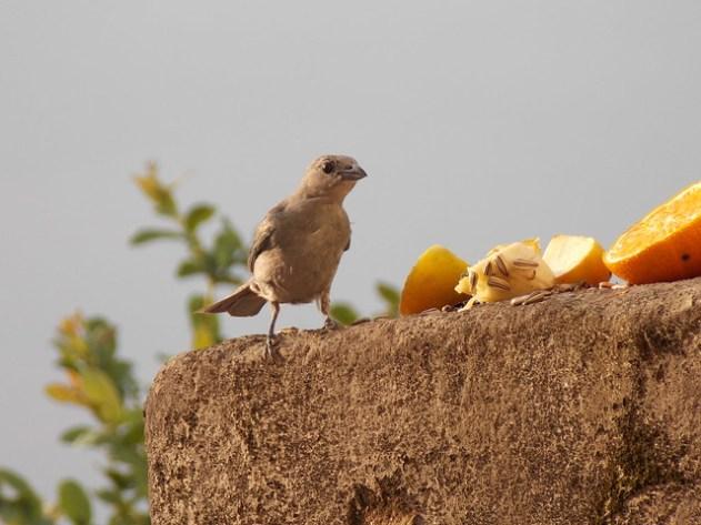 Este Sanhaçu foi o único pássaro que apareceu para comer hoje