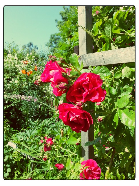 Den klättrande rosen