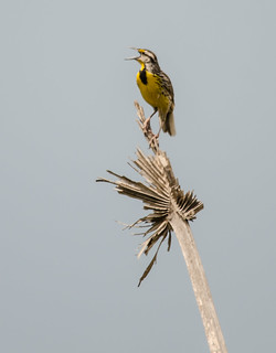 Eastern Meadowlark sturnella magna