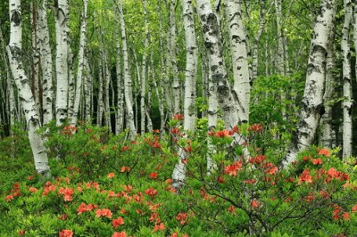 white birch and azalea.