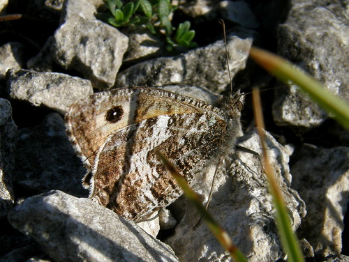 Another grayling II