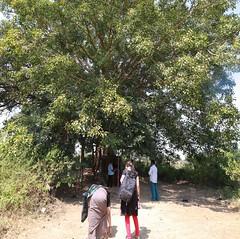 Krishna Tree (3)