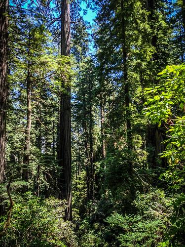 Redwoods and Elk-055