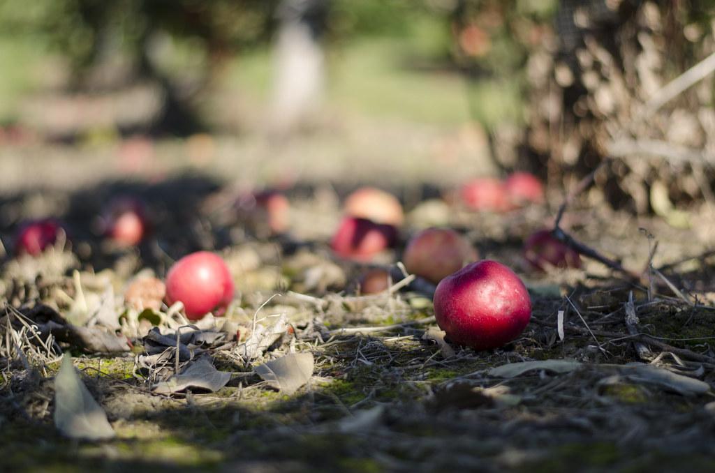 short story // apple picking 6