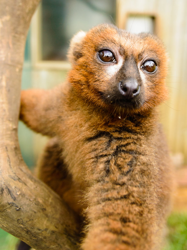 Lemur selfie take 2
