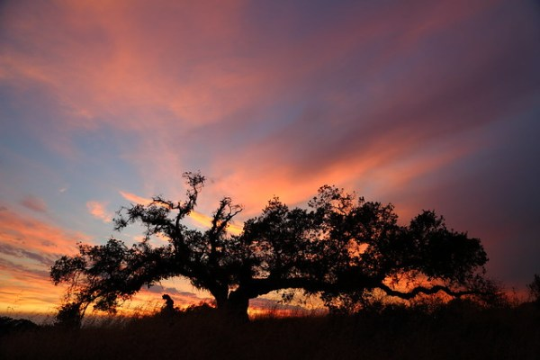 Sunset Tree, August 4, 2014