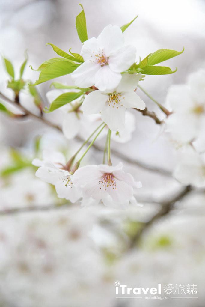 《京都赏樱景点》京都府立植物园春天繁花似锦,亲子出游野餐一起亲近自然