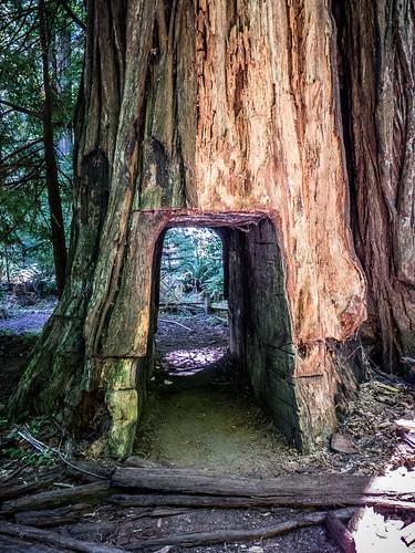 Coastal Redwoods and Fog-056