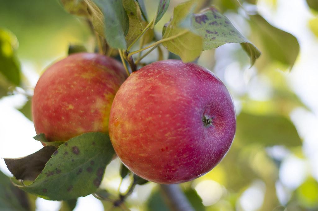 short story // apple picking 11