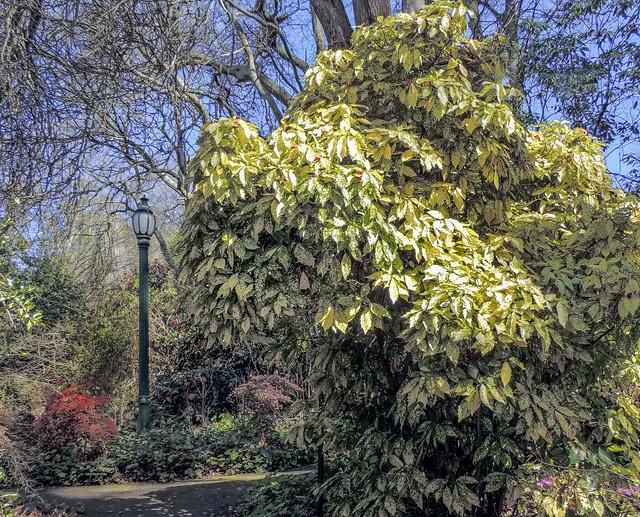 Tindale Garden - Gold Dust Bush aucuba japonica Variegata1 23Aug2014 - r.e Oct2017 sRGB web.JPG