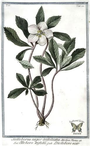 Christmas Rose. Helleborus niger.Bonelli, Giorgio, Hortus Romanus juxta Systema Tournefortianum, vol. 5 (1783-1816)