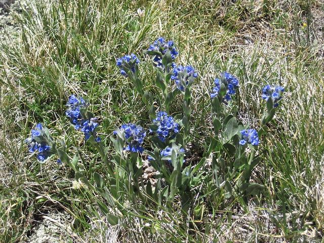 Blue Wildflowers Below Missouri Mountain, Colorado