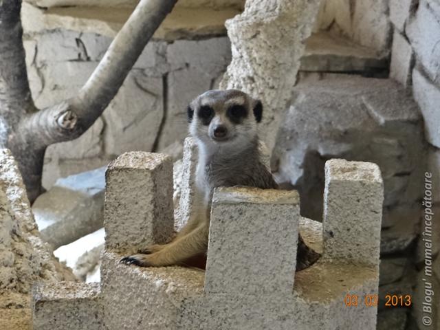 suricata la gradina zoologica bucuresti1