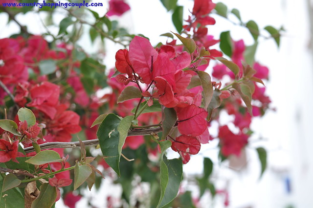 Bouganvillae Flower Albufeira