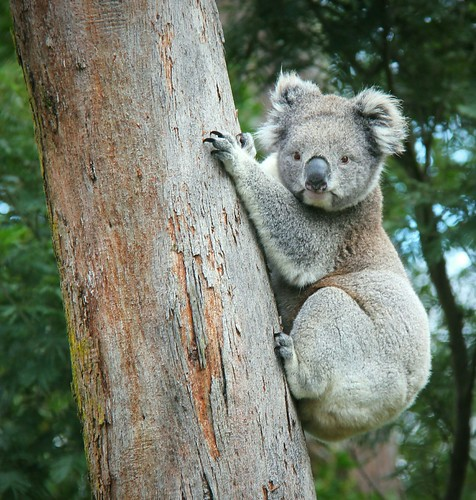 Roadside koala