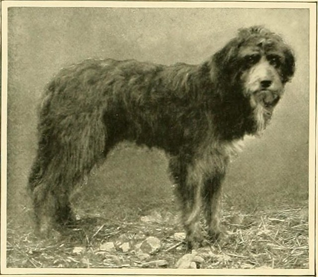"""Image from page 131 of """"The new book of the dog : a comprehensive natural history of British dogs and their foreign relatives, with chapters on law, breeding, kennel management, and veterinary treatment"""" (1911)"""