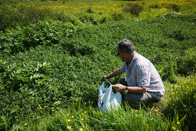 Foraging for watercress in Lympstone