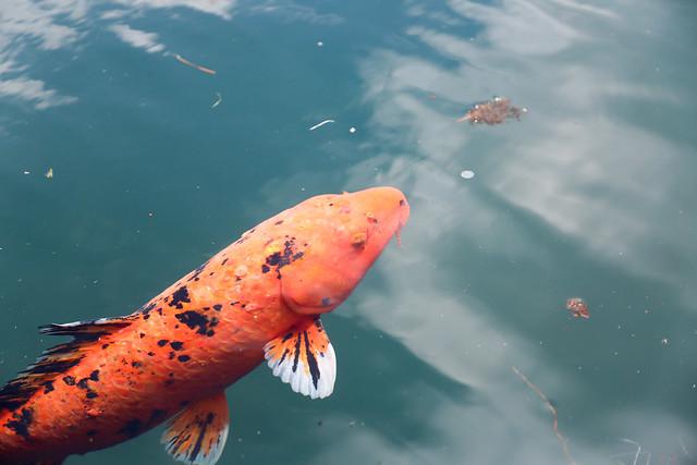 毘沙門沼の鯉