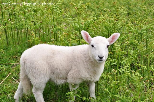 Perfect Portrait Isle of Mull Lambs
