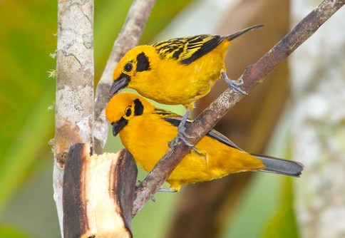 Golden tanagers, Tangara arthus