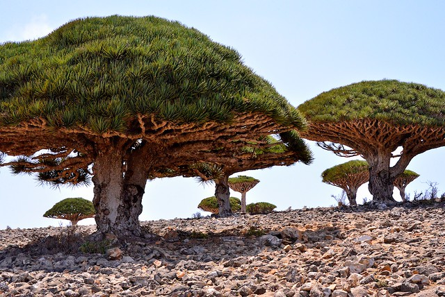 Dragon's Blood Trees, Socotra Is, Yemen