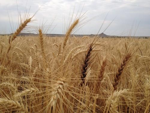 Z Crew: Wheat Variety