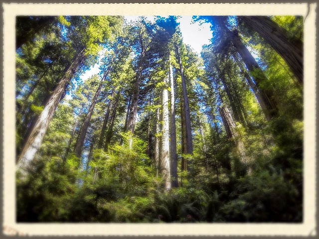 Redwoods and Elk-039