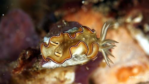 Glossodoris sp.