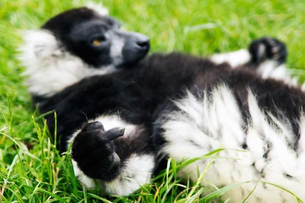 Rude Lemur, broken finger, Woburn