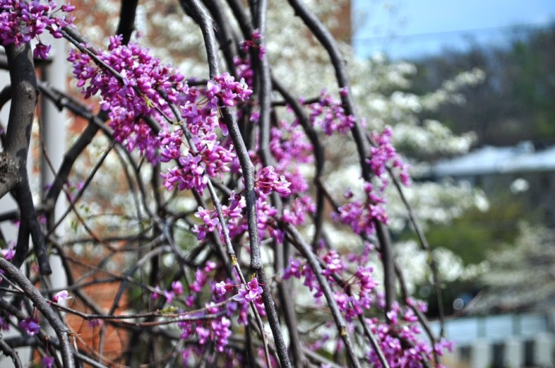 I Couldn't Get Enough of the Spring Blooms in Staunton, Va.