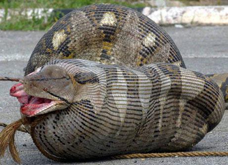 060915-python-ewe_big