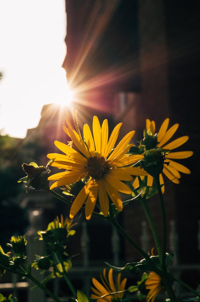 Evening light flowers