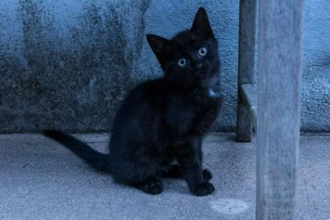 Kitten, black mister P?©p?© (Petit Prince 2)