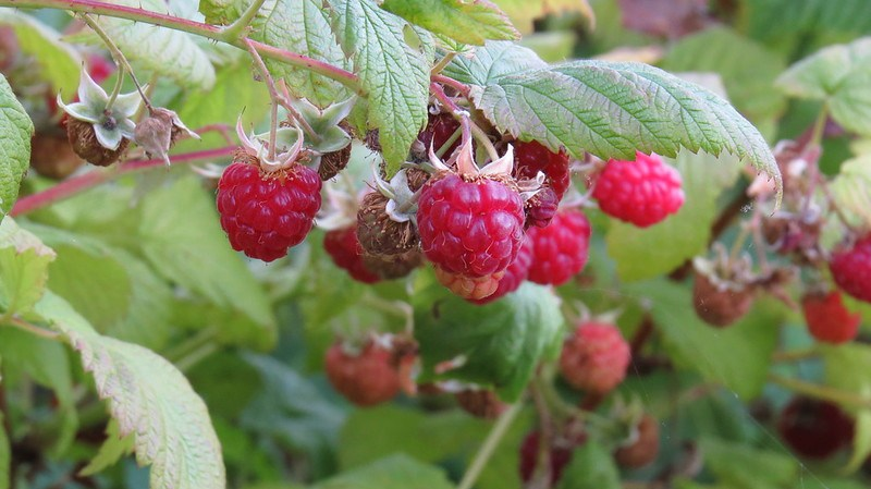 Raspberry Bushes