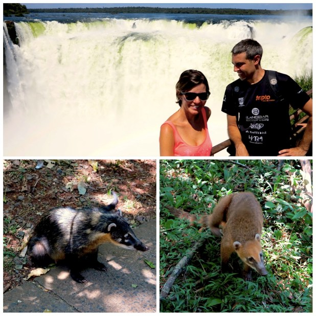 Coatí en Cataratas de Iguazu