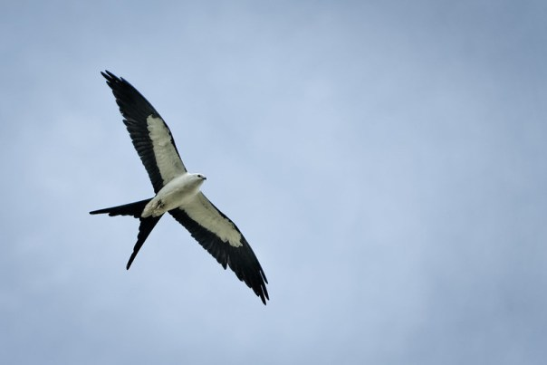 Soaring Swallow-tailed Kite