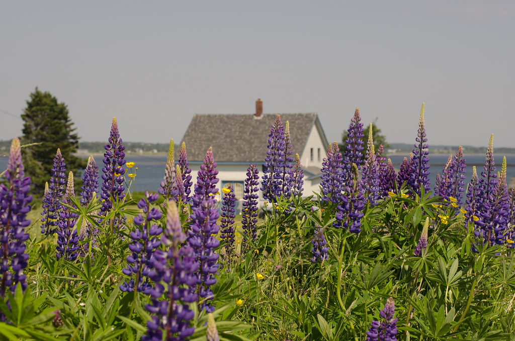 lupines 4