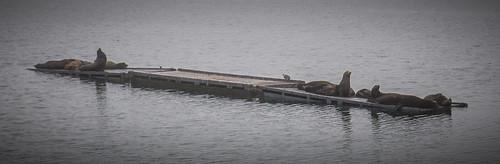 Sea Lions at Crescent City