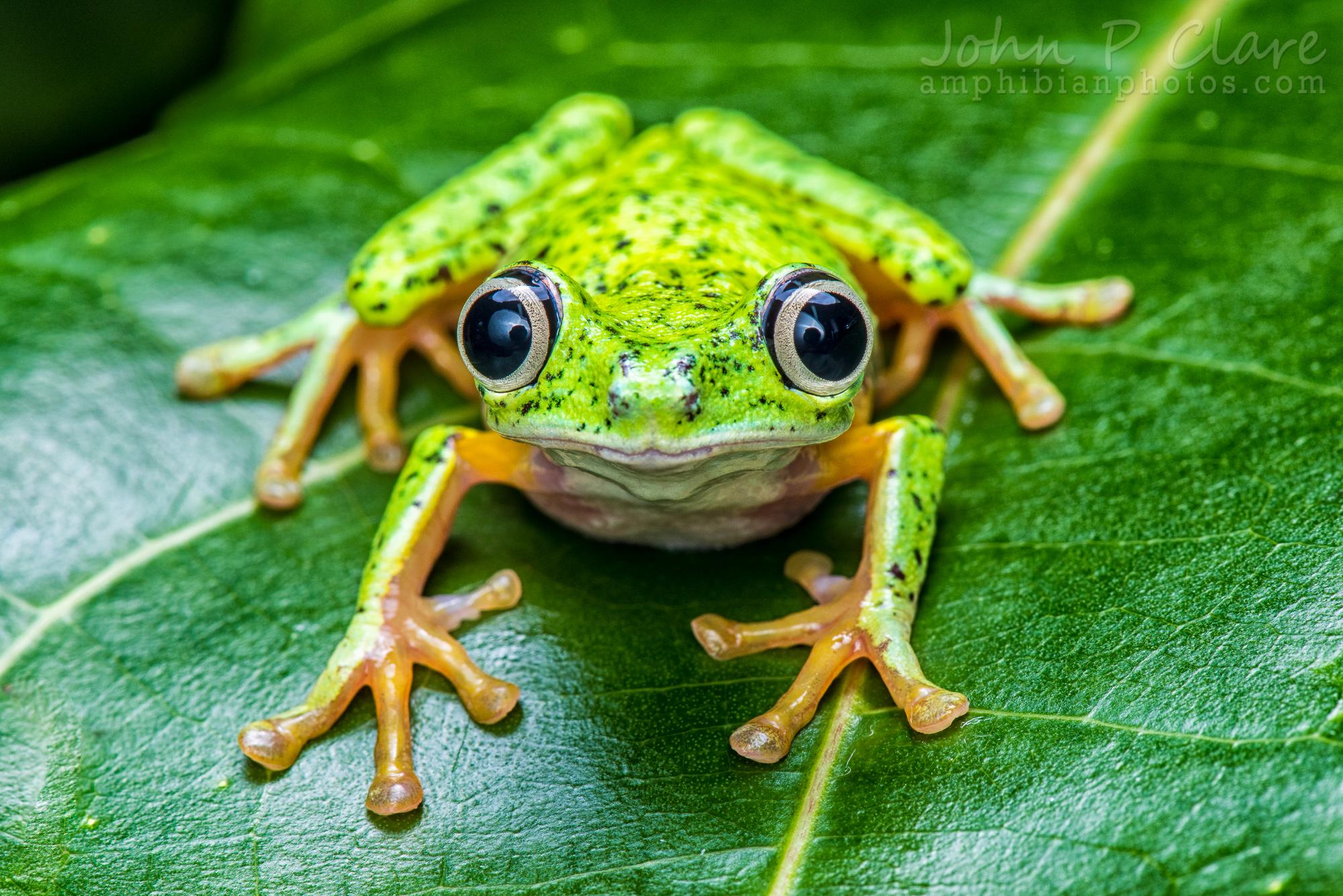 Lemur Leaf Frog Hylomantis Lemur Flickr