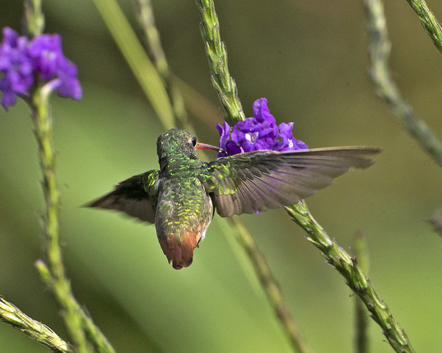 Rufous-tailed Hummingbird (Amazilia tzacatl jucunda)