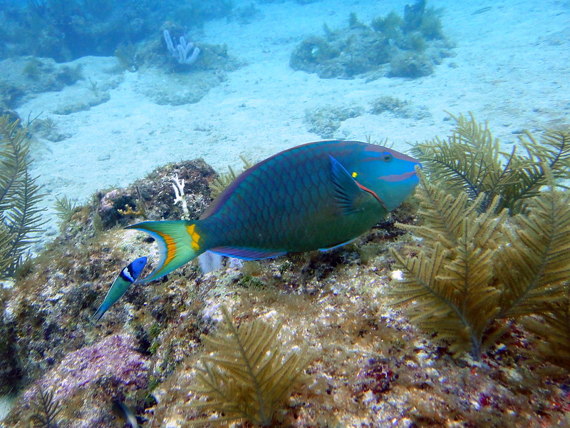 Blue Parrotfish on Molasses Outer Reef, Key Largo