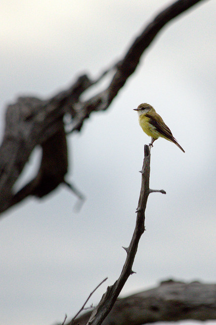 Lemon-bellied Flycatcher.