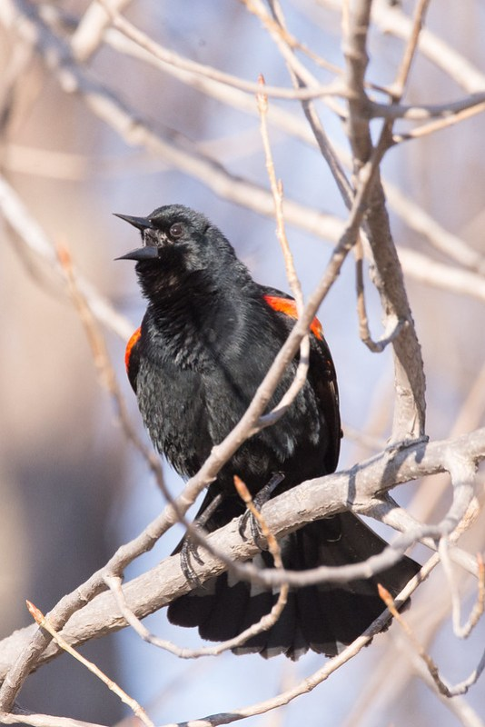 _DSC6880 Red-wigned Blackbird