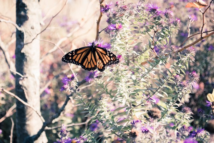 Monarch Butterfly During Autumn in St. Louis Missouri