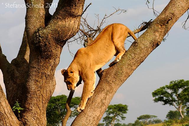 Climbing lioness - Queen Elizabeth National Park, Uganda