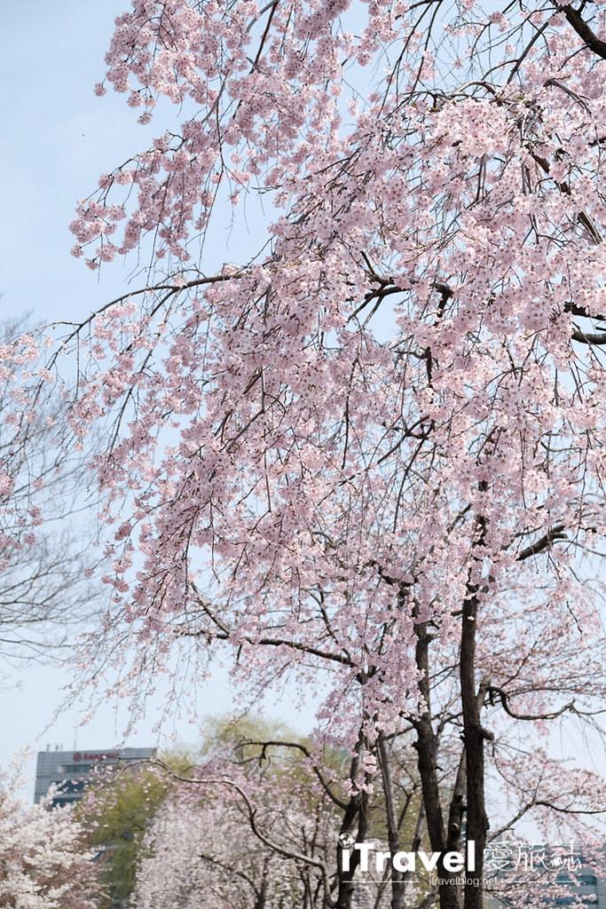 首尔赏樱景点 乐天塔石村湖 (18)