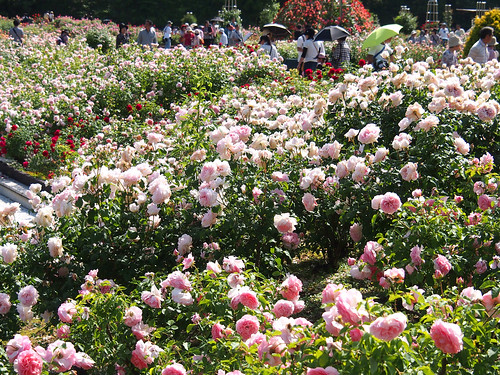 At the rose garden in Flower festival commemorative park, 花フェスタ記念公園 世界のバラ園にて.