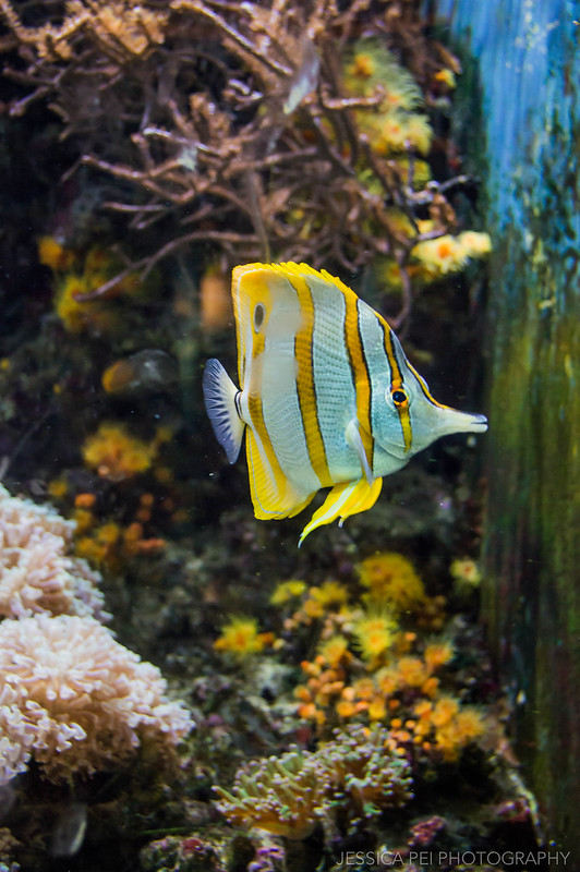 Yellow Fish in Chicago Shedd Aquarium