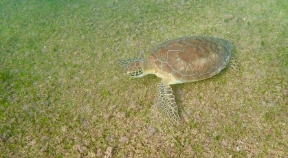 Turtle in Yurtle Bay